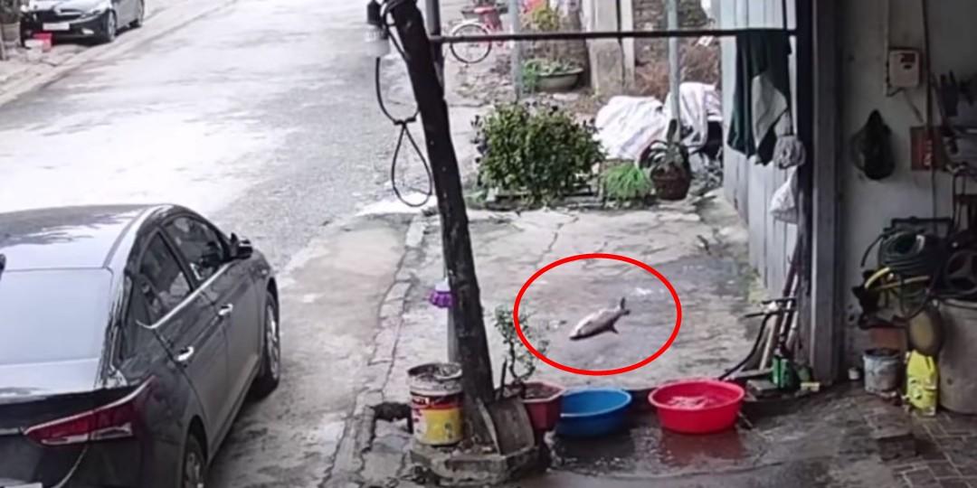 El gran escape: pez saltó varios metros desde un recipiente con agua hasta llegar a una alcantarilla
